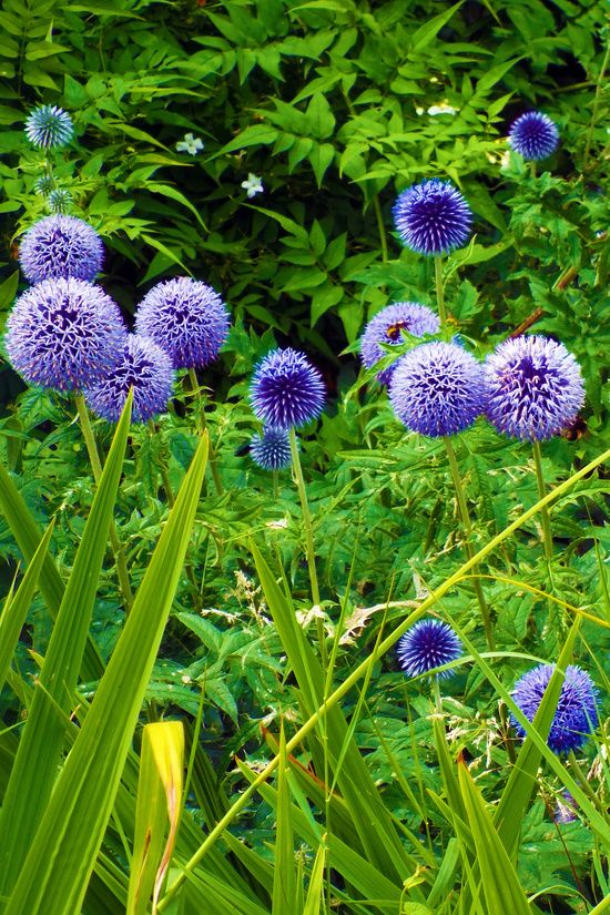 #Blue #Allium #Flowers Art #Print