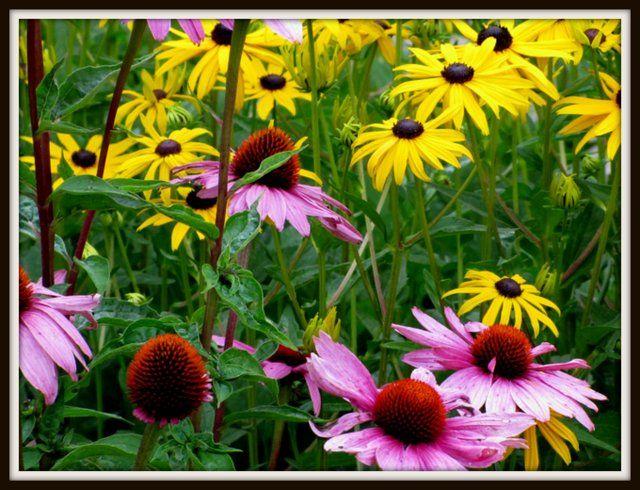 Szkielkiem Okiem I Sercem Rudbekie Kwiaty Lata Plants