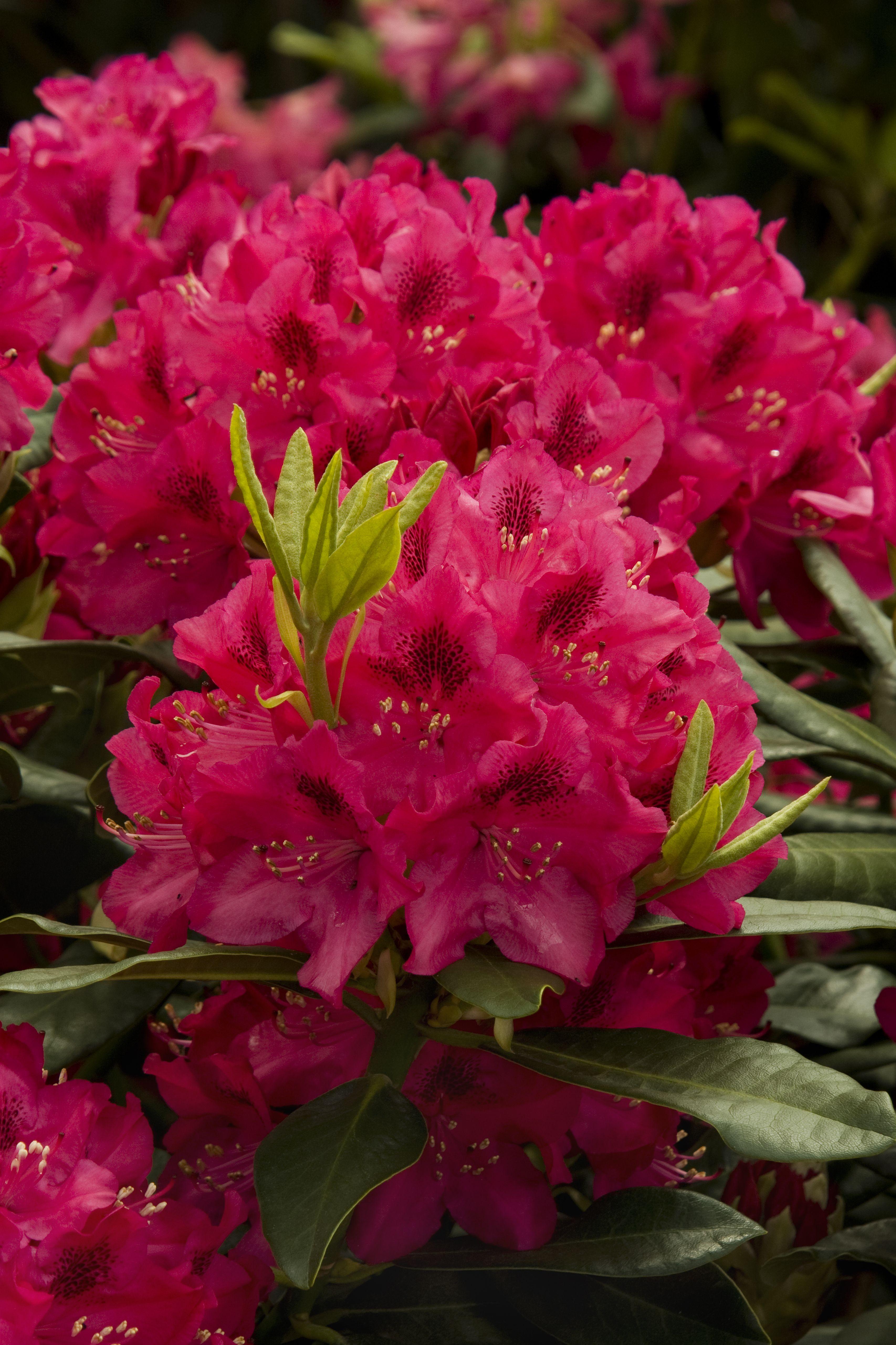 Nova Zembla Rhododendron Monrovia Nova Zembla Rhododendron