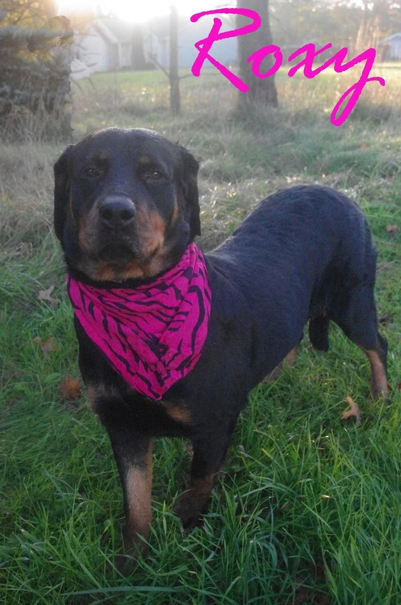 Urgent Beautiful Rottie Girl Roxy Needs A Home Asap Can