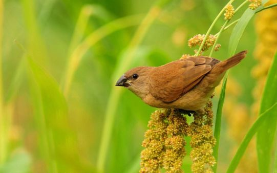 A beautiful picture of #Brown Small #Bird downloaded from http://alliswall.com
