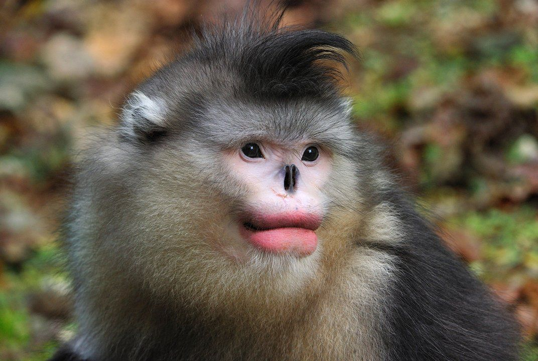 Monkeys Like Full Red Lips Too Monkey Pictures Monkey Primates
