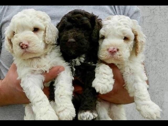 Tommy Smyth Has Puppies For Sale On Akc Puppyfinder Puppies For Sale Puppies Lagotto Romagnolo