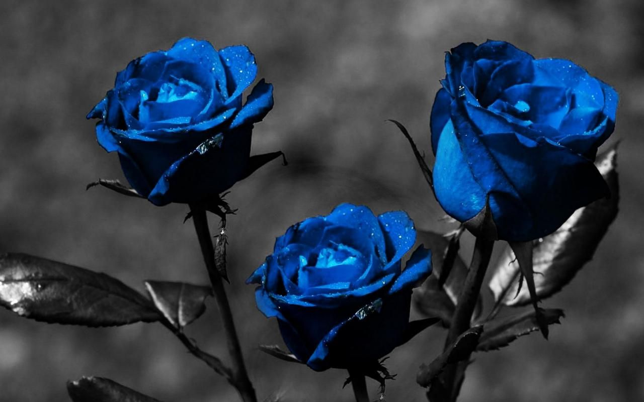 Blue Rose Wallpapers Hd 1280x800