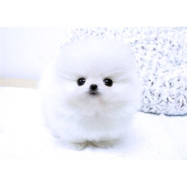White Teacup Pomeranian My Dream Puppers 3 Cute Pomeranian Pomeranian Puppy Puppies
