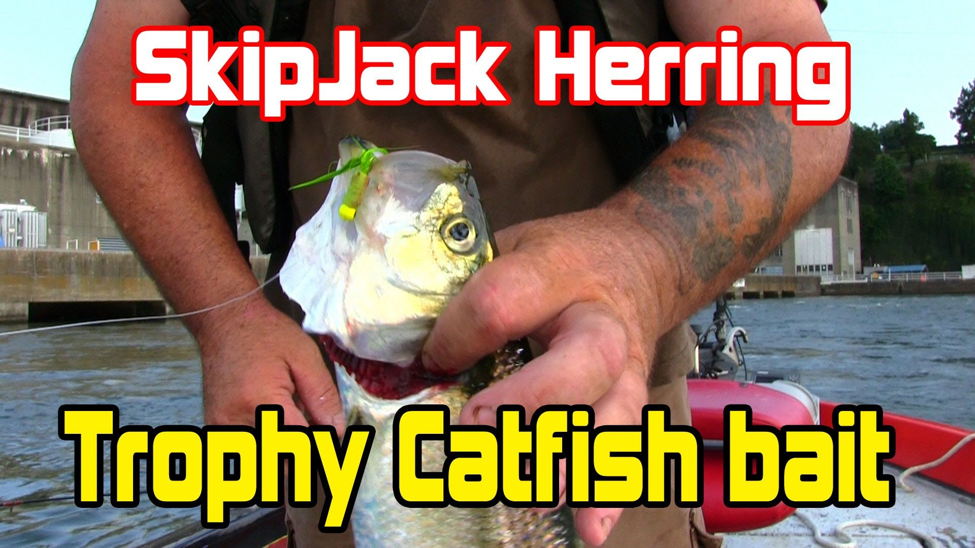 Best bait for Monster catfish in rivers is: | Fishing For