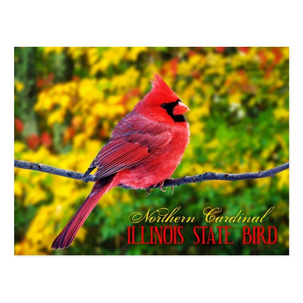 Illinois State Bird Northern Cardinal Postcard Zazzle Com Northern Cardinal State Birds Illinois State