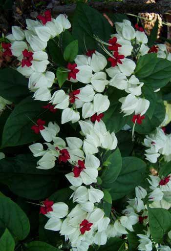 bleeding heart vine on Bleedingheartvinewhiteverti Jpg 350 514 Flowering Vines Plants Planting Flowers