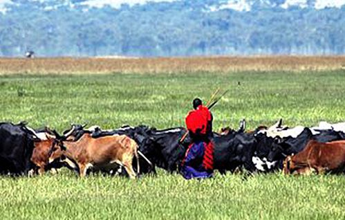 Maasai consume raw beef, but much more fascinating is the tradition of drinking blood, and blood-milk mixtures. Studies show no heart disease.
