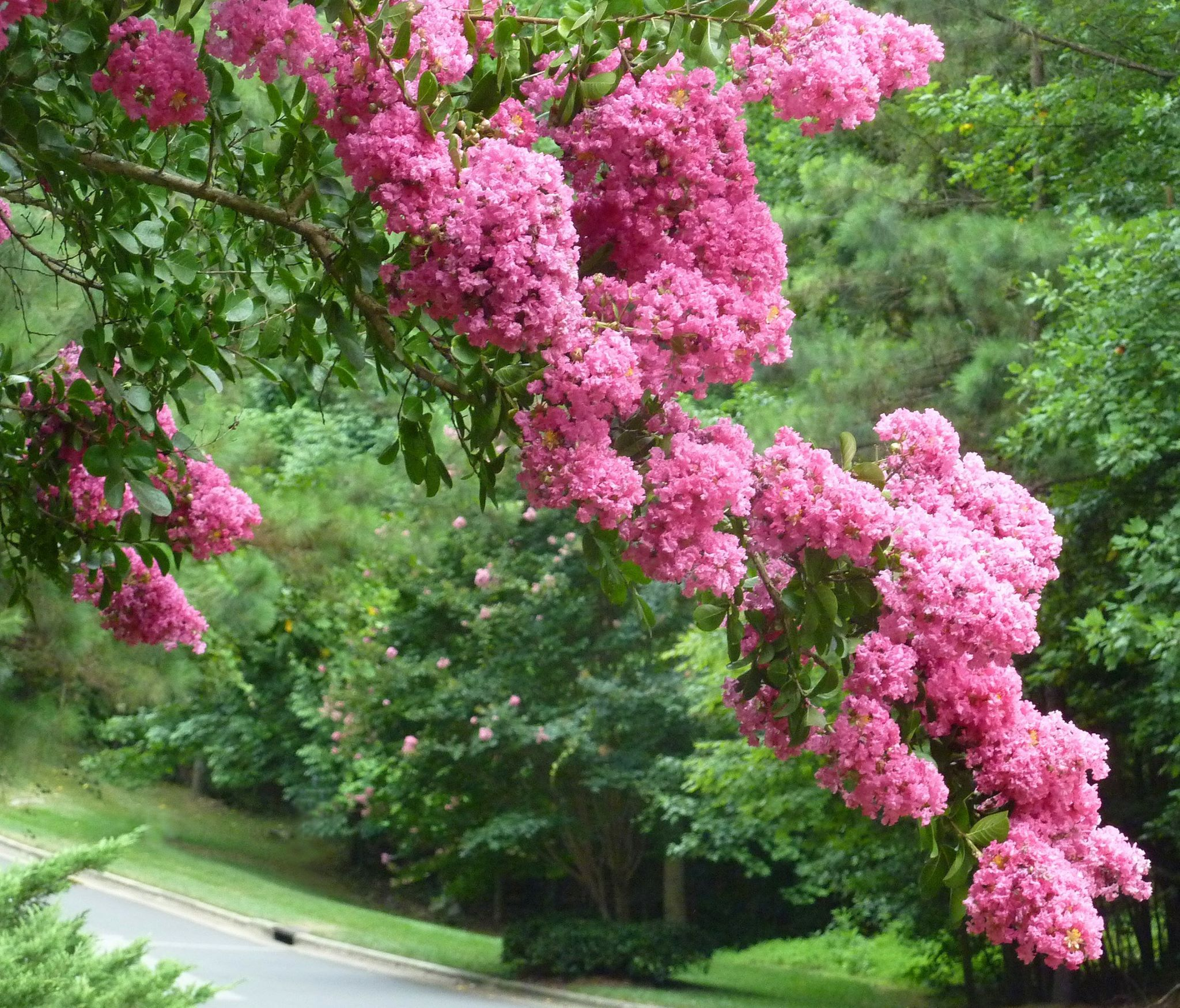 Lagerstroemia! (Crape Myrtle) Crape myrtles can be found as tiny ...