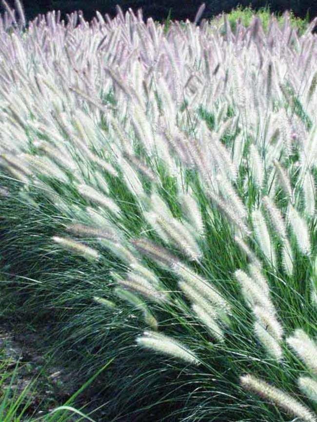 Hameln Ornamental Grass Pennisetum foxtrot fountain grass pearl millet garden borders a dwarf ornamental grass pennisetum hameln makes a delightful edging plant in the sunny garden workwithnaturefo