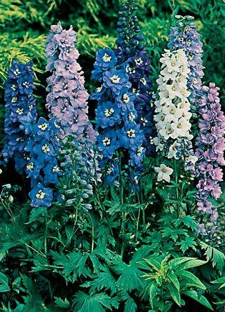 Delphinium A Regal And Elegant Focal Point Back Drop Delphinium Delphinium Flowers Garden Fertilizer
