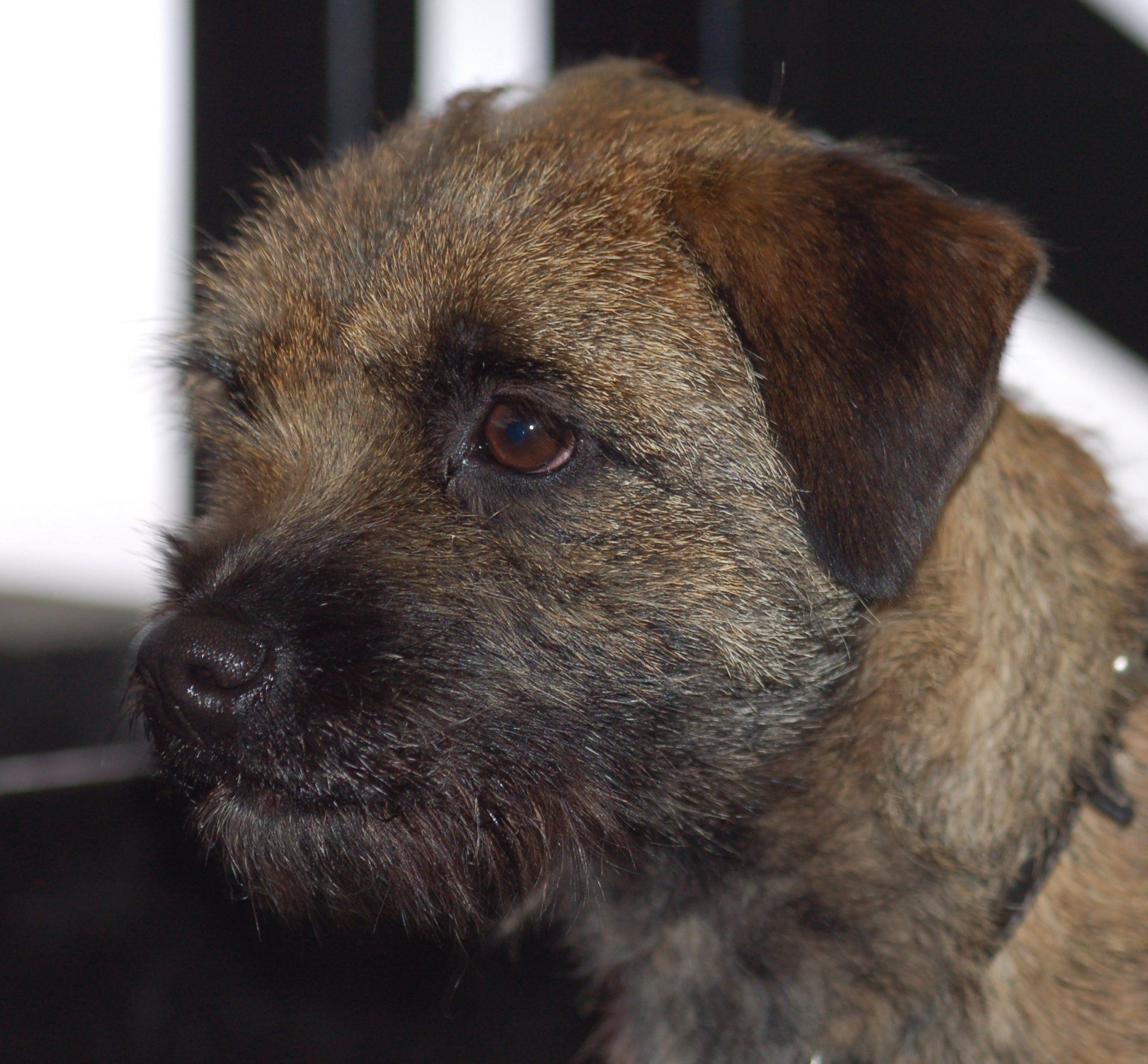 The Border Terrier May Well Be One Of The Oldest Terriers In