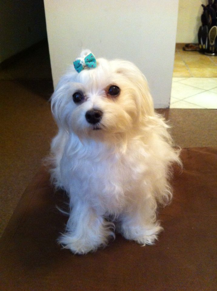 Pin On Maltipoo And Maltese Daily