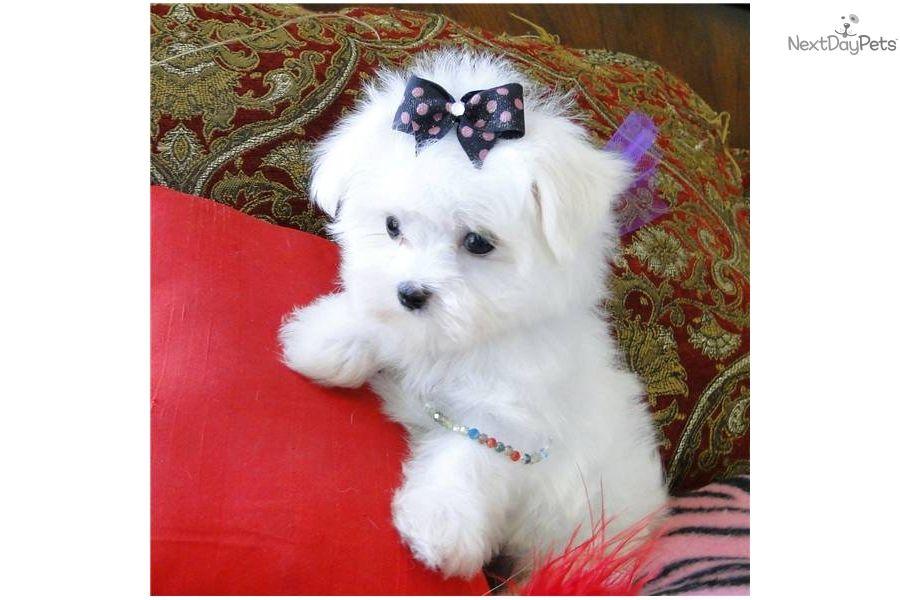 Maltese Puppy For Sale Near Dallas X2f Fort Worth Texas A54c9857 30a1 Maltese Puppy Teddy Bear Puppies Maltese Puppies For Sale