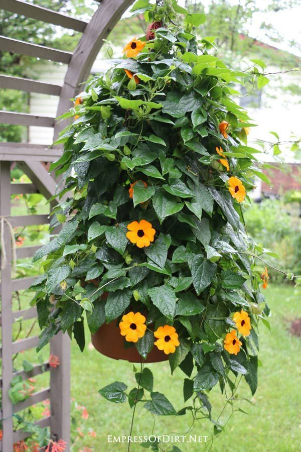 Backyard Garden Tour with Flowers and Garden Art | Empress of Dirt  Black-eyed Susan vines are a wonderful choice for an annual, fast-growing summer vine.  #art #backyard #Dirt #empress #flowers #garden #tour