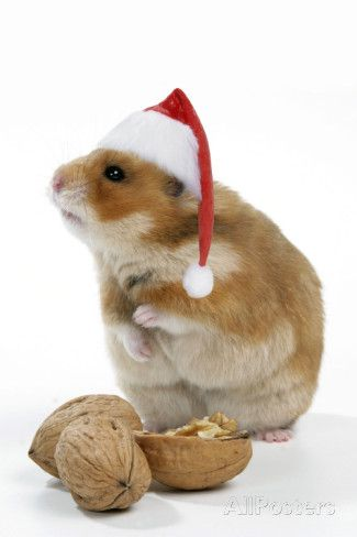 Syrian Hamster with Walnuts and Christmas Hats Valokuvavedos AllPosters.fi-sivustossa