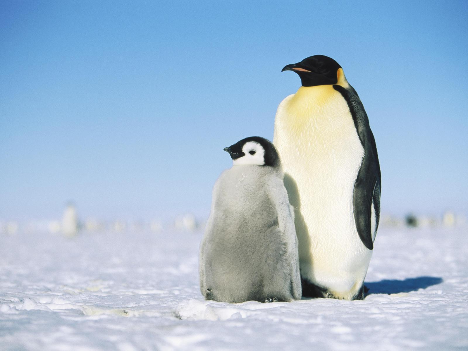 Картинки с пингвинами, про толстых