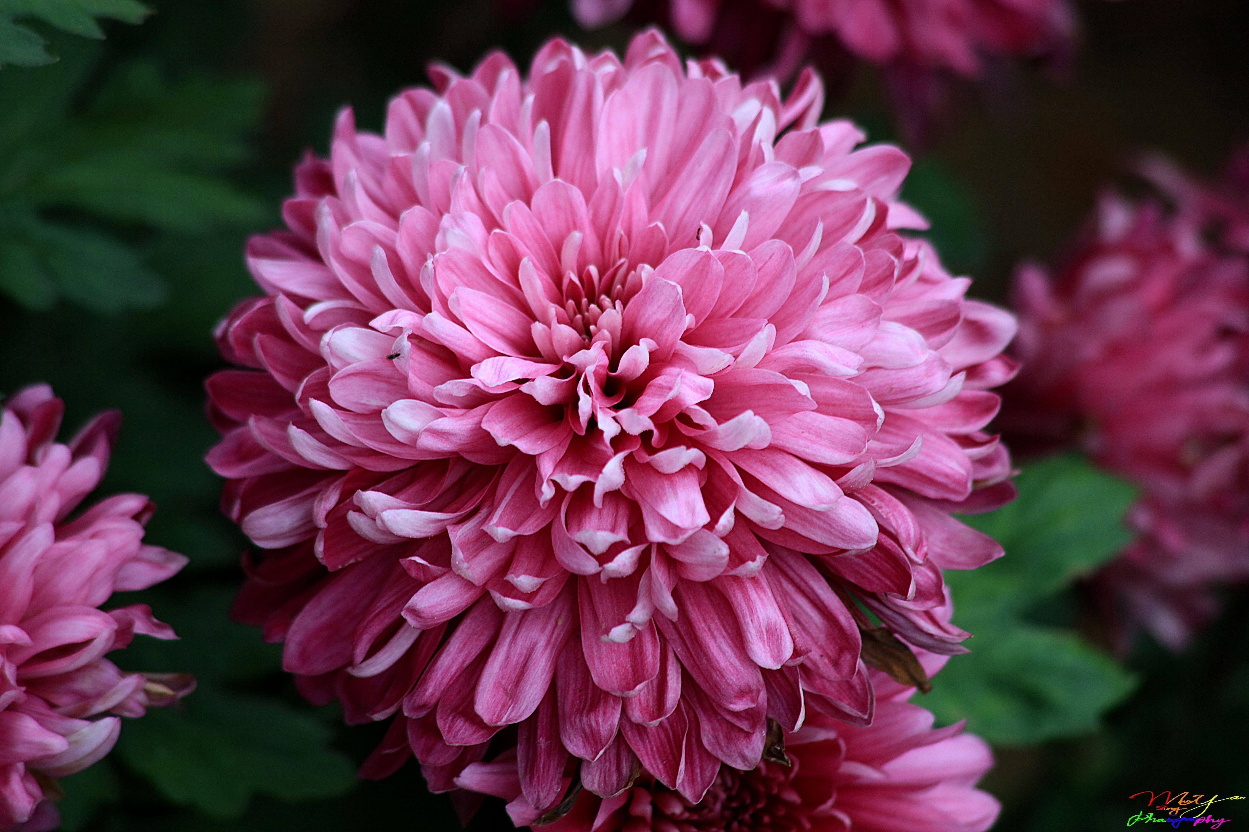 Pink Dahlias Shuijiaoshe Park South District Tainan City Taiwan Tainan City Flowers Dahlia