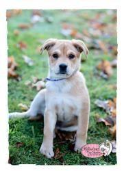 Adopt Muffin On Labrador Retriever Dog Labrador Retriever Retriever Dog