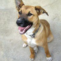 Rottweiler Boxer Pitbull Mix Furbabies Rottweiler Dogs Cute