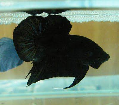 Google Image Result For Http 4 Bp Blogspot Com Psmv8eol3jk Std6pd1raqi Aaaaaaaaay8 Dktgjjvalcc S400 Super 2bblack5 Jp Betta Fish Betta Siamese Fighting Fish