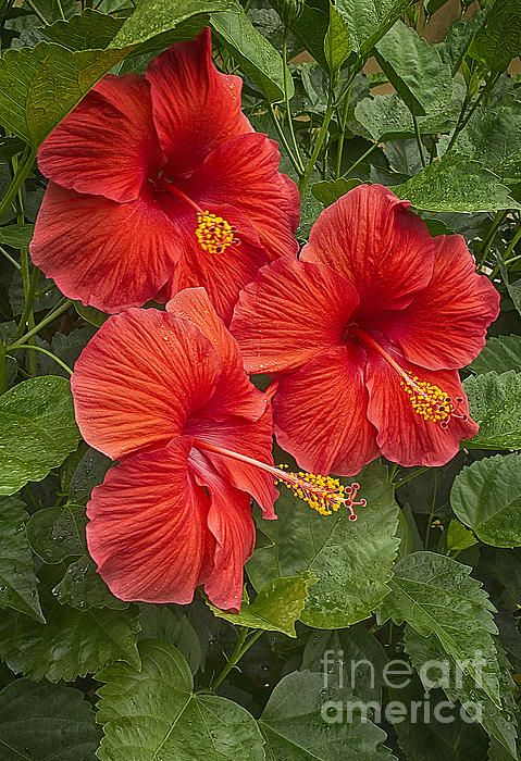 Flora Hibiscus Trio Anne Rodkin Amazing Flowers Hibiscus Flowers Beautiful Flowers