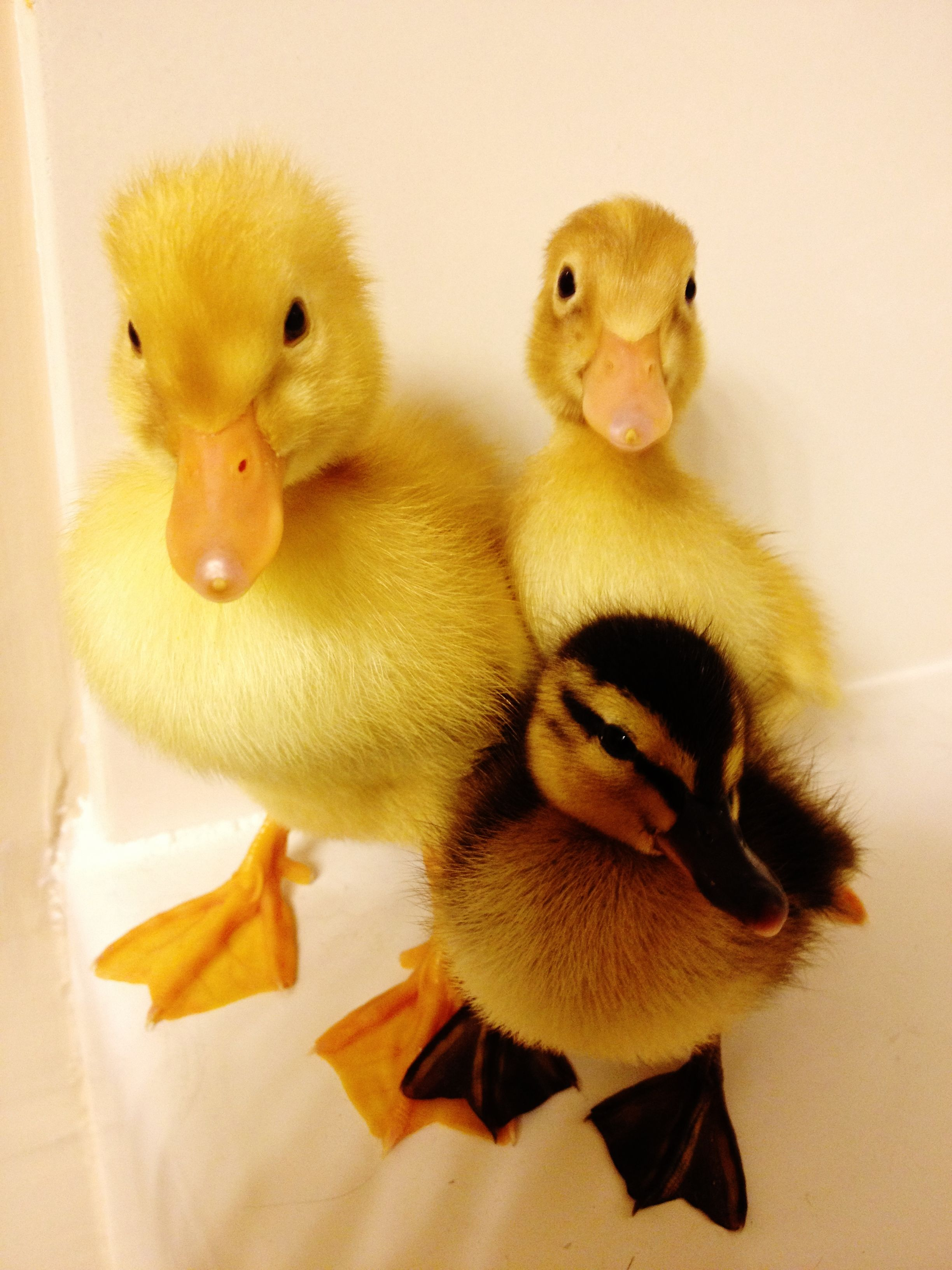 how to look after ducklings as pets