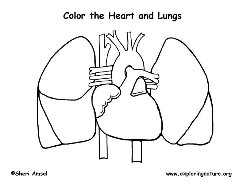 human organ systems coloring pages - photo#18