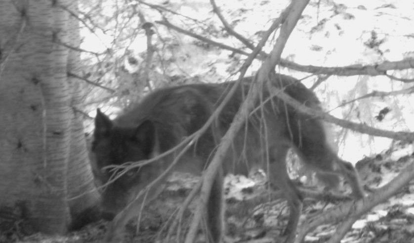 0698 Lactating Female Wolf Eagle Cap Odfw Wolf Wolf Information Animals
