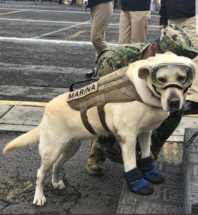 This badass navy rescue dog helping victims of Mexico's earthquake. Her name is Frida