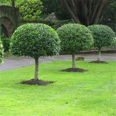 Prunus Lusitanica Portuguese Laurel Tree Johnstown Garden Centre Ireland Garden Landscape Design Topiary Garden Garden Design