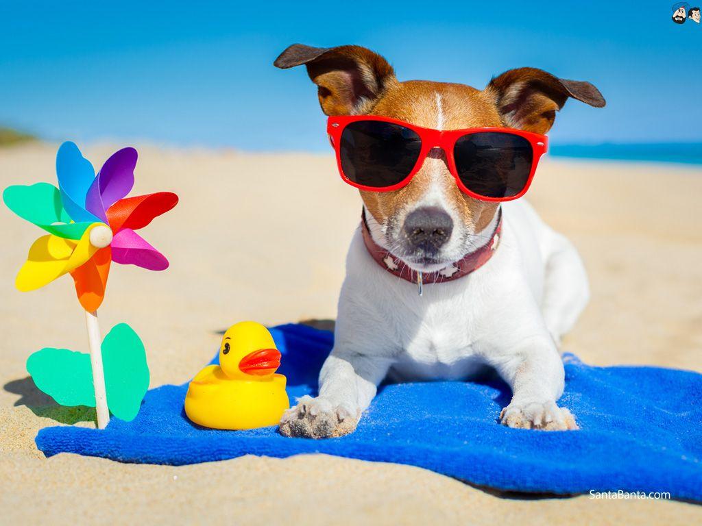 jack russelel honden afbeeldingen | Free Download Dogs HD Wallpaper #210