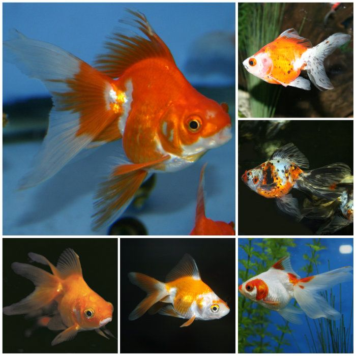 Assorted ryukin goldfish small fishy ideas and ponds for What fish can live with goldfish in a pond