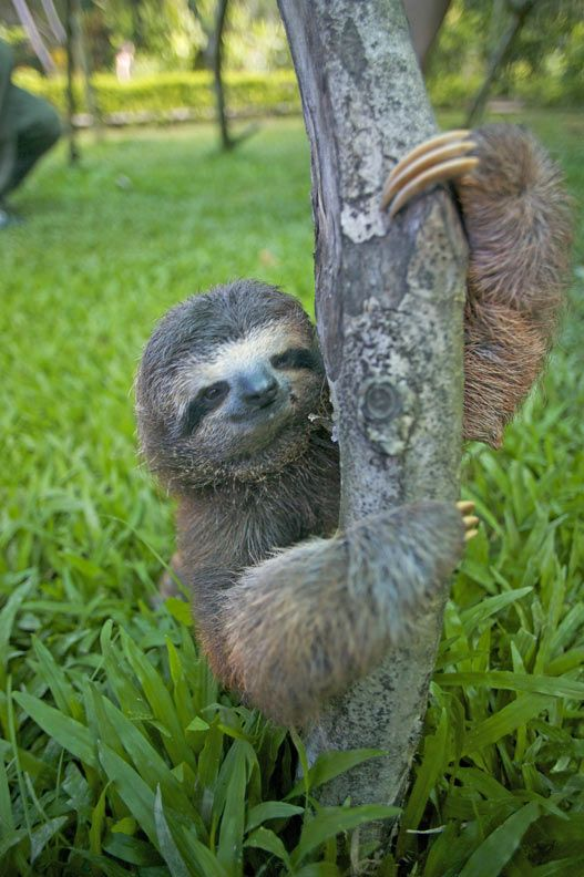 Sloths hanging out in Costa Rica on the Atlantic coast; and yes you can volunteer here!