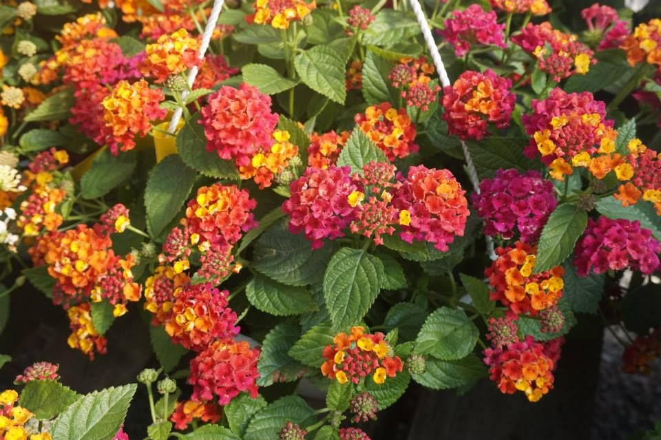 Multicolored Lantana Make Great Hanging Baskets Drought Resistant They Don T Wilt As Fast As Some More Delicate Options Though T Hanging Baskets Container Gardening Garden
