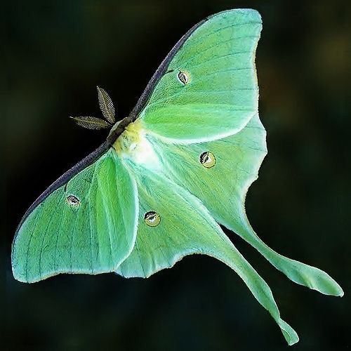 Adult Luna Moths Have No Mouths And Therefore Cannot Eat Or Drink As They Live For Just One Week And Have Only Mariposas Bonitas Imagenes De Mariposas Polilla