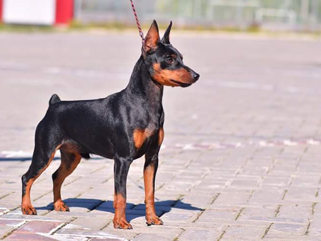 Pin By Yung Kuo On Miniature Pinscher Miniature Pinscher Puppy Miniature Pinscher Pinscher