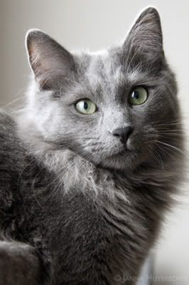 Image result for fluffy grey cat Russian blue cat, Blue
