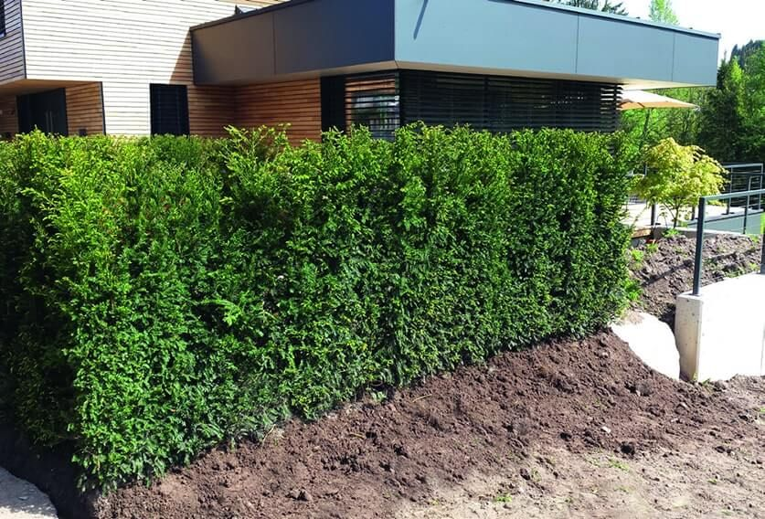 Hicks Yew Hedges Shrub Taxus X Media Hicksii Instanthedge Privacy Hedge Modern Landscaping Hedges