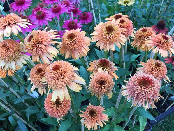 Echinacea Supreme 'Cantaloupe' http://www.pariscotejardin.fr/2016/10/echinacea-supreme-cantaloupe/