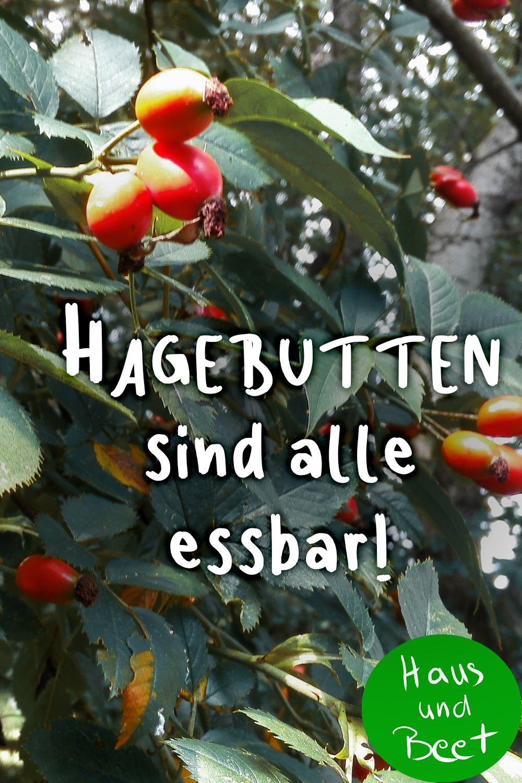 Hagebutte – Die Vitaminbombe der Rosen - Haus und Beet #rezepteherbst