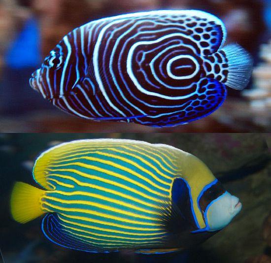 Emperor Angelfish (Pomacanthus