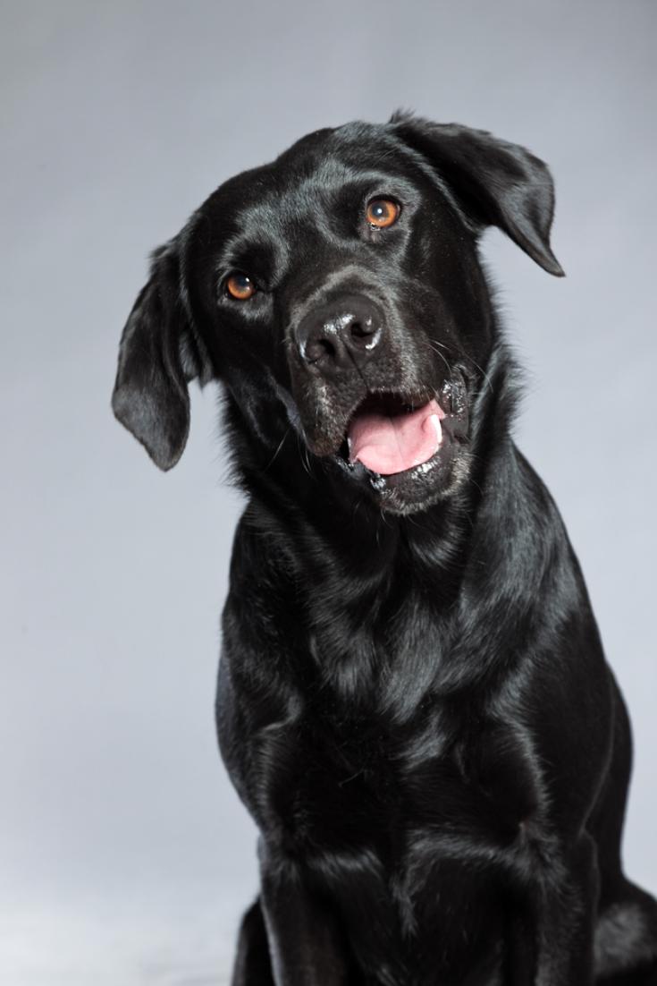 Young Black Labrador Retriever Dog Studio Shot Labradorretriever Golden Retriever Labrador Black Labrador Retriever Labrador Retriever Funny