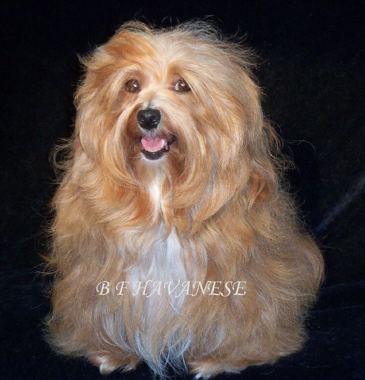 Pin by Brenda Horn on Havanese Animals, Havanese, Dogs