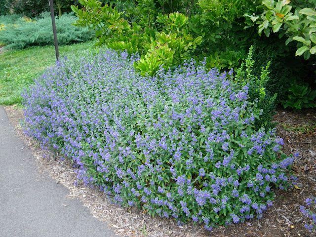 Caryopteris x clandonensis Blue Mist Shrub Mass planting