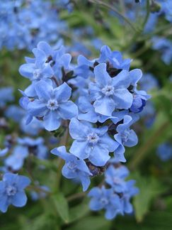 Forget-Me-Not, Chinese - One of the most beloved garden flowers, the humble Forget-Me-Not is used to enhance memory, aide with love magick, and align one's sight with that of the Faery realm.