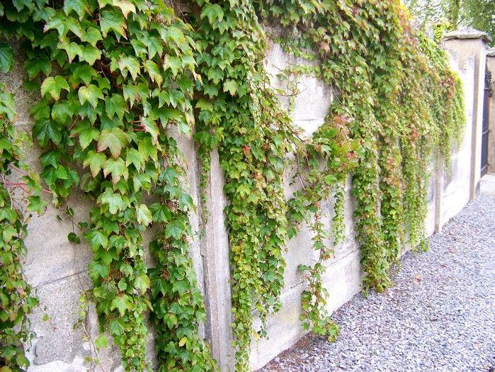 Terrasse Vigne Vierge : vigne vierge Green Spring RDC BBC Ambiance village