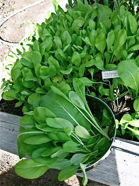 Harvest Tendergreen Mustard Spinach Spinach Mustard Mustard Greens