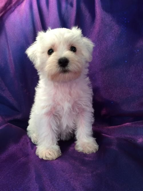 All White Female Miniature Schnoodle Pup For Sale Professionally Bred Schnoodle Litter Schnoodle Puppy Schnoodle Schnoodle Puppies For Sale